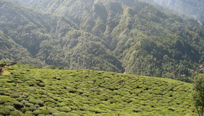 darjeeling tea field
