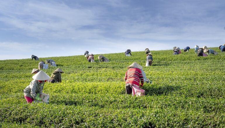 vietnamese green tea field