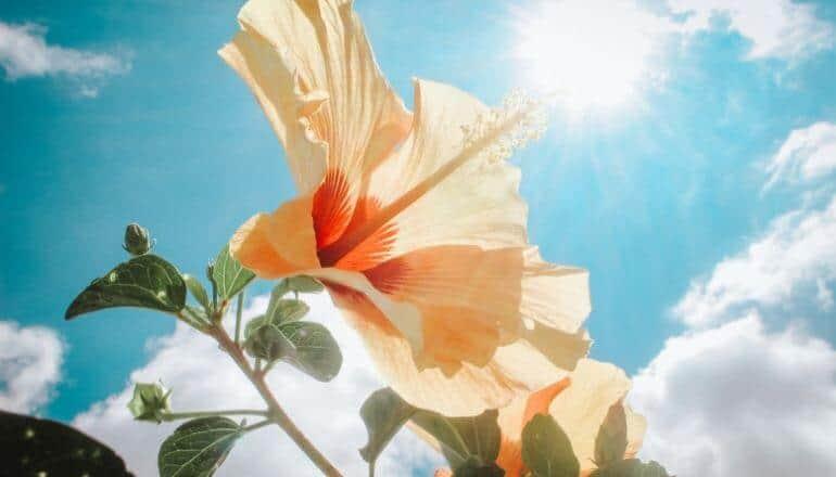 hibiscus flower in sunlight