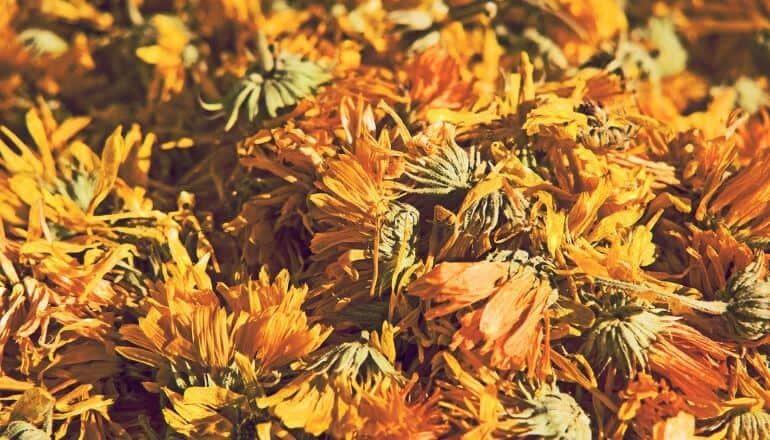 dried dandelions
