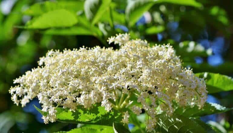 elderflowers in bloom during the day