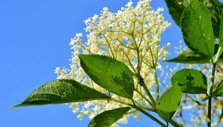elderflower in bloom against a blue sky