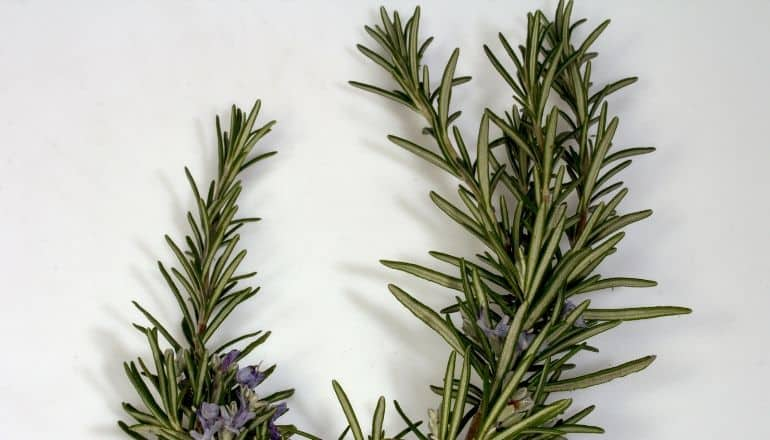 rosemary on table