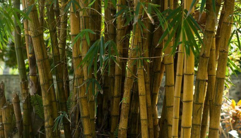bamboo shoots with leaves
