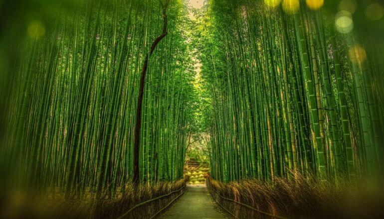 tall bamboo shoots