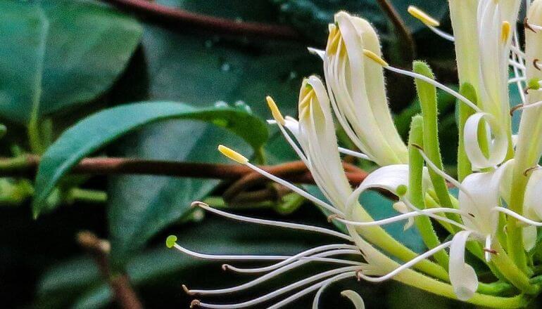 yellow tipped honeysuckle flowers
