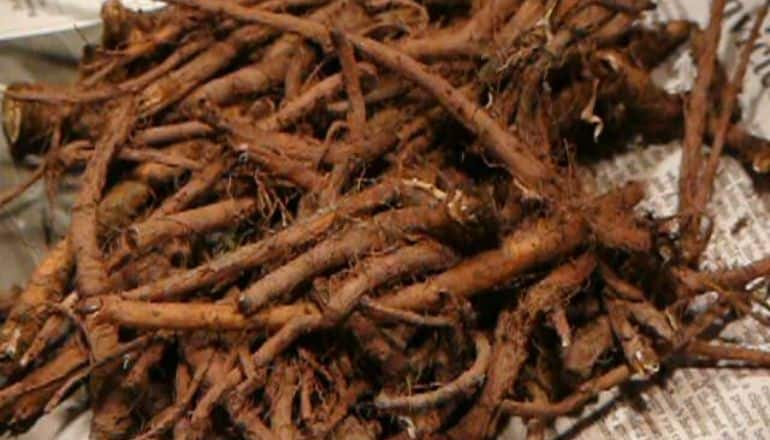 pile of dandelion root