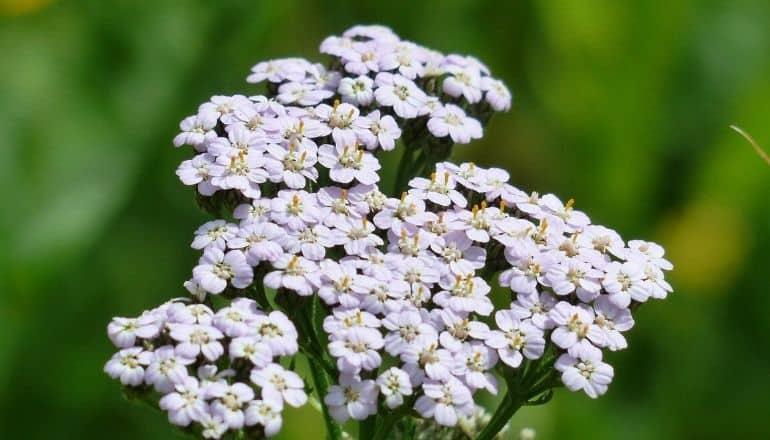 white yarrow flowers in sunlight