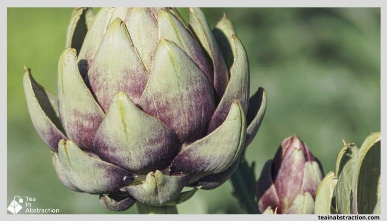 artichoke growing in sunlight
