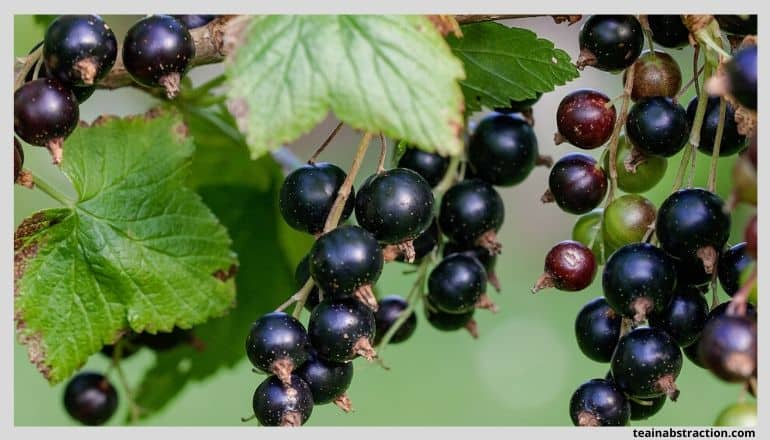 black currants hanging from vines with leaves around them