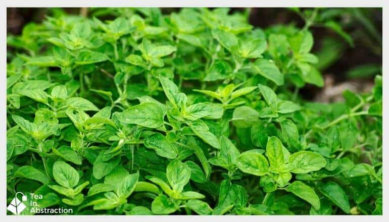 fresh oregano with rain droplets on the leaves