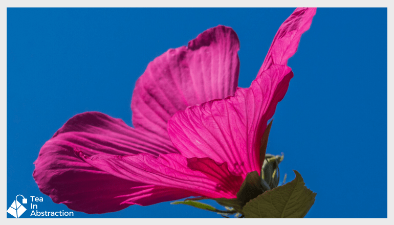 pink hibiscus flower against a deep blue sky