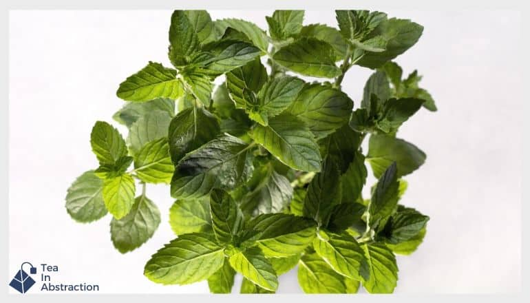 spearmint leaves against a white background