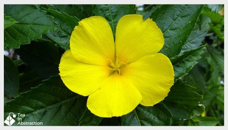 bright yellow damiana flower