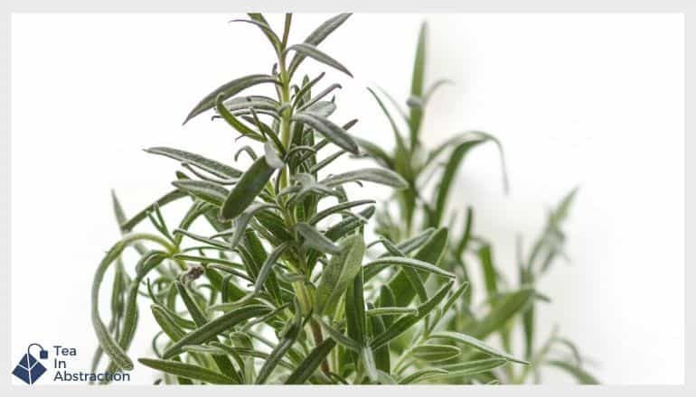 a thyme plant