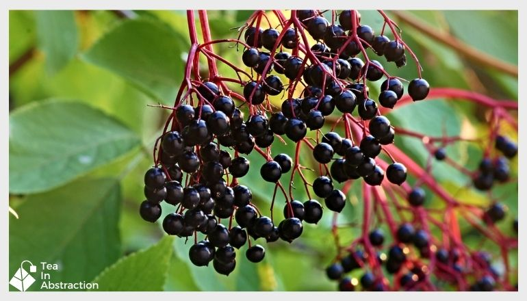 elderberries hanging from a tree